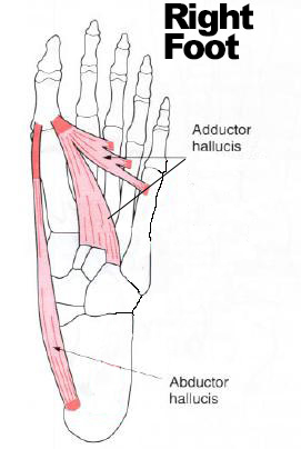 "ABductor Hallucis & ADDuctor Hallucis. Think Of ""ADD"" for adding to the other toes for ADDuctor Hallucis"