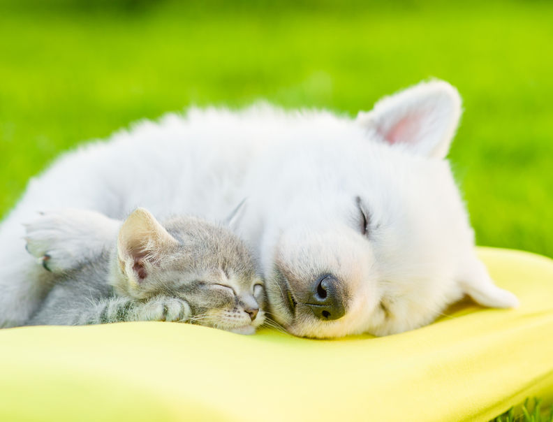 white swiss shepherd`s puppy sleeping with kitten on pillow. Cat & Dog Sleeping On The Best Pillow: Dr. Ken Nakamura Downtown Toronto Chiropractor